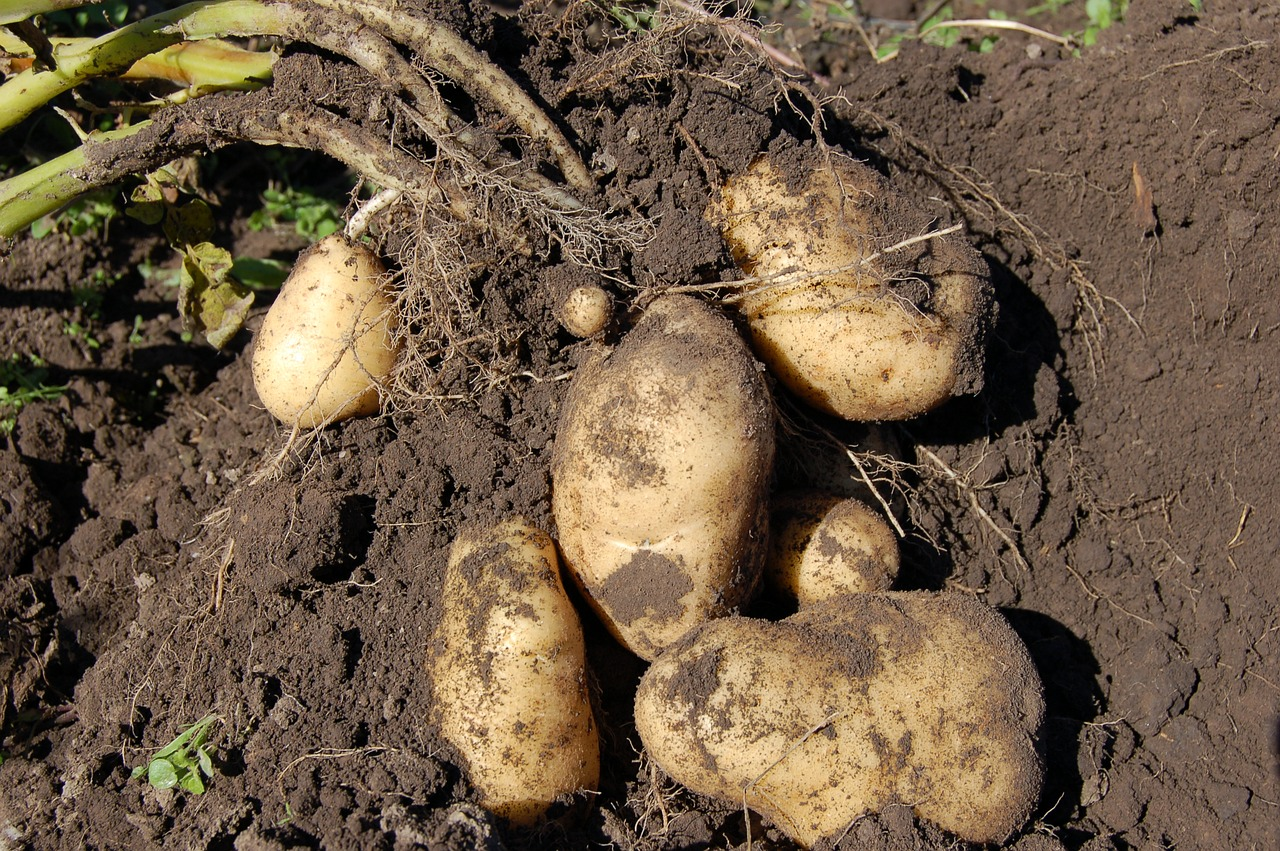 How To Build A Raised Bed To Grow White Potatoes