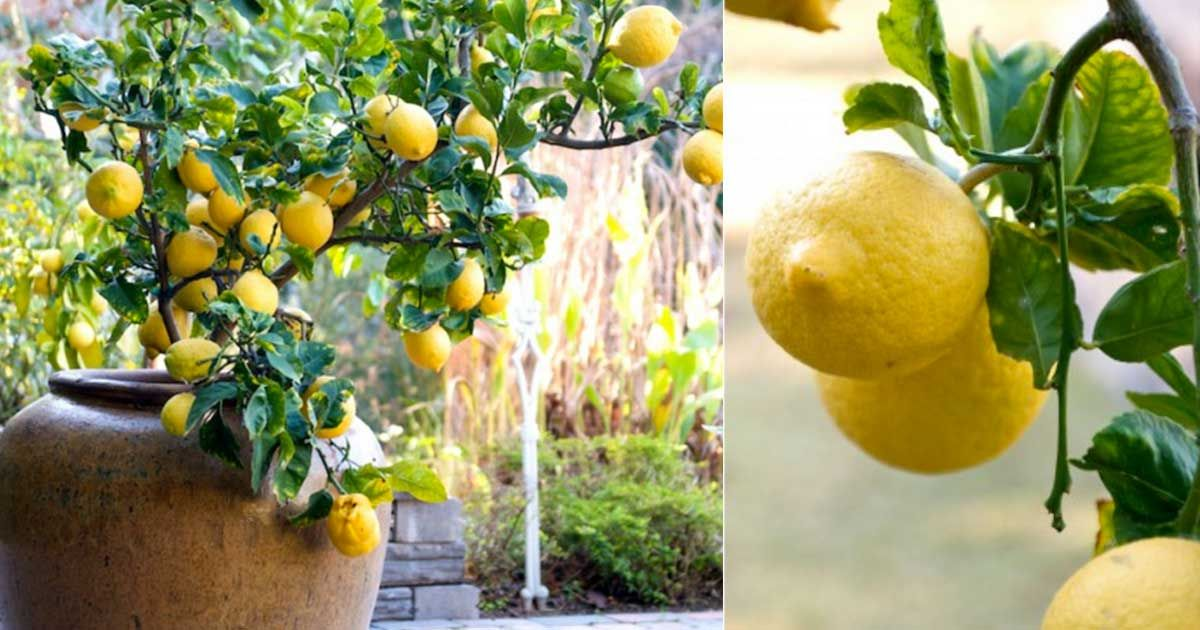 How to grow a lemon tree in a pot from a seed the plant for Growing a lemon tree in a pot from seed