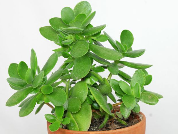 how to grow crassula plant